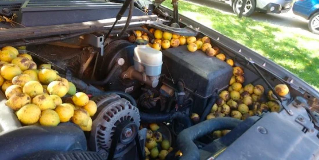 Man discovers thousands of nuts hidden by a squirrel under the hood of his truck.